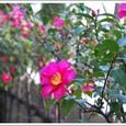 山茶花の生垣