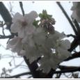 風雨を耐え忍ぶ桜の花