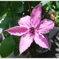 クレマチス(テッセン)の花