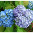青と紫のあじさい
