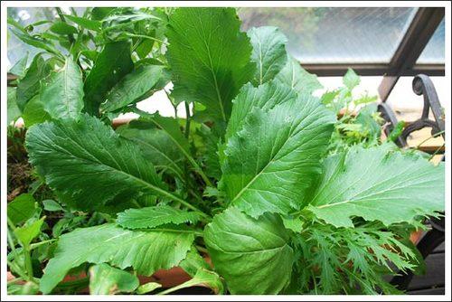 菜園の小松菜と水菜