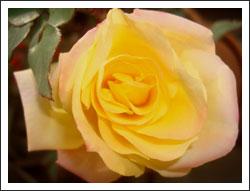 薔薇 アンネフランク