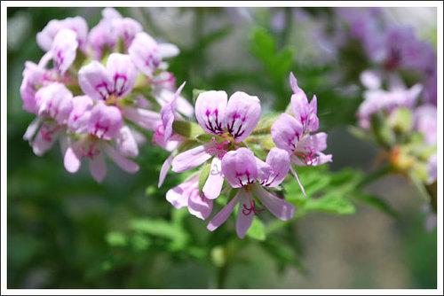蚊連草の花