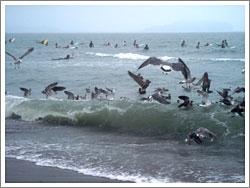 網にかかった魚に群がる鳥