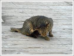 耳の後ろがかゆい猫