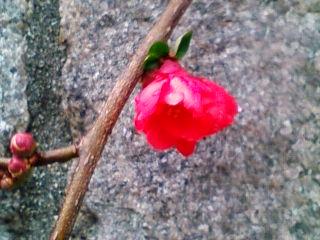 広島でも梅が見頃です。