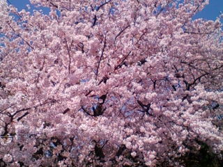 下田 ホテルの桜