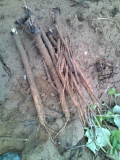 畑から掘りたてのごぼう