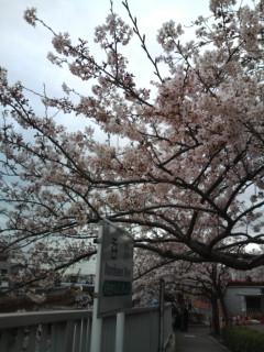 呑川の桜、ほぼ満開。